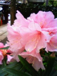 しゃくなげの花